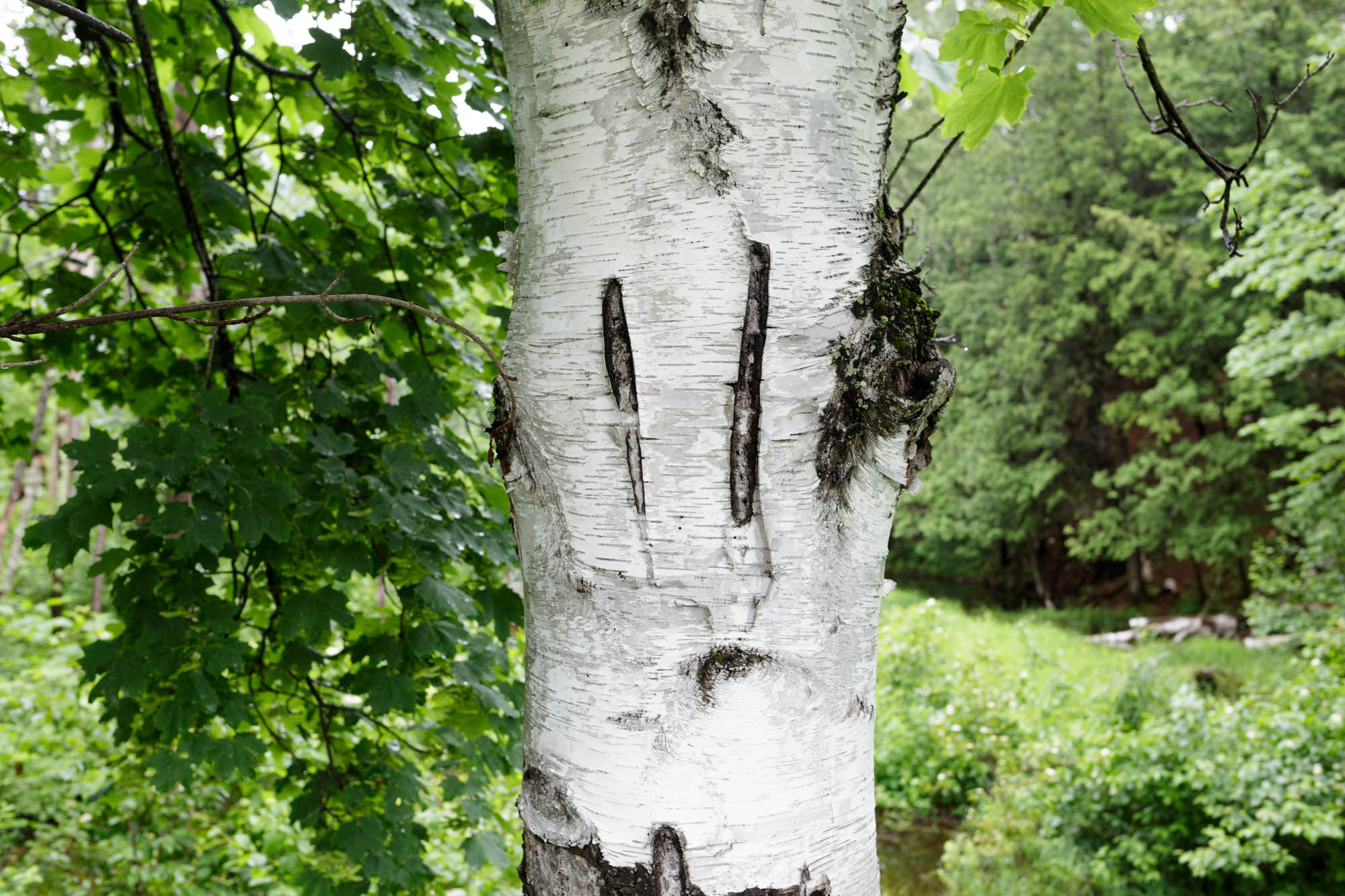 Scarred Birch