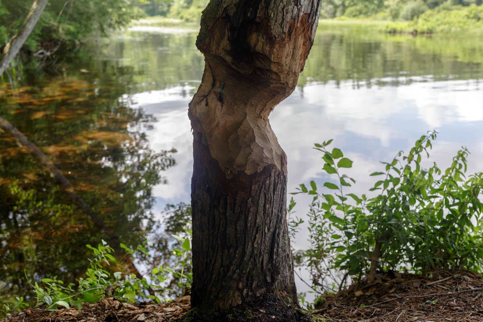 Partially Chopped Tree