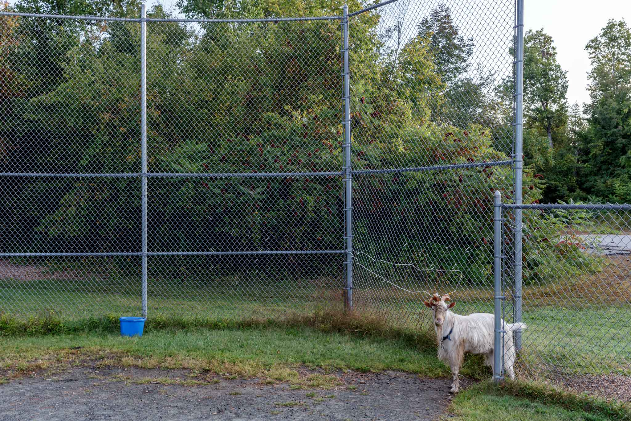 Goat and Fence