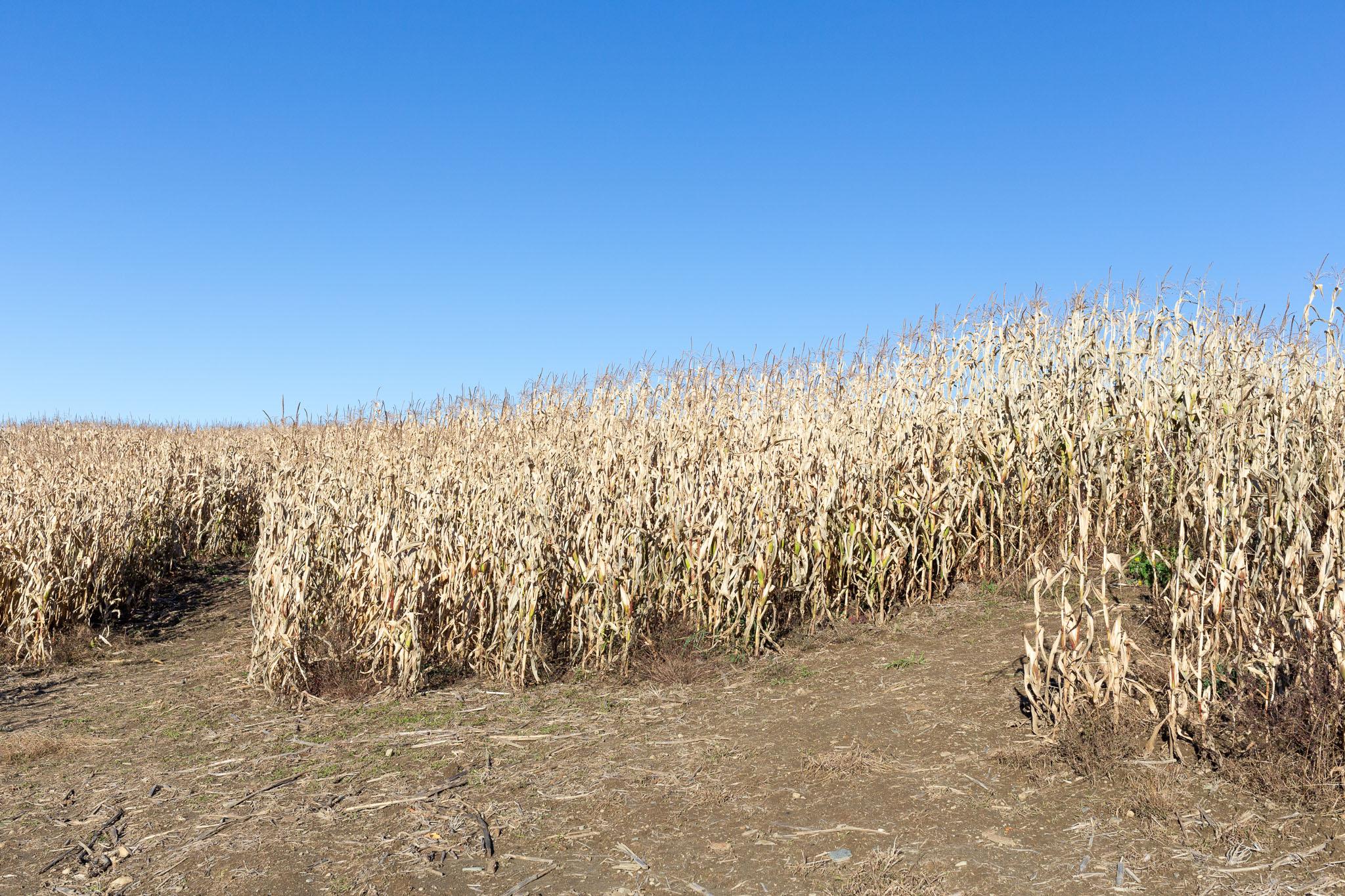 Corn Maze 2019